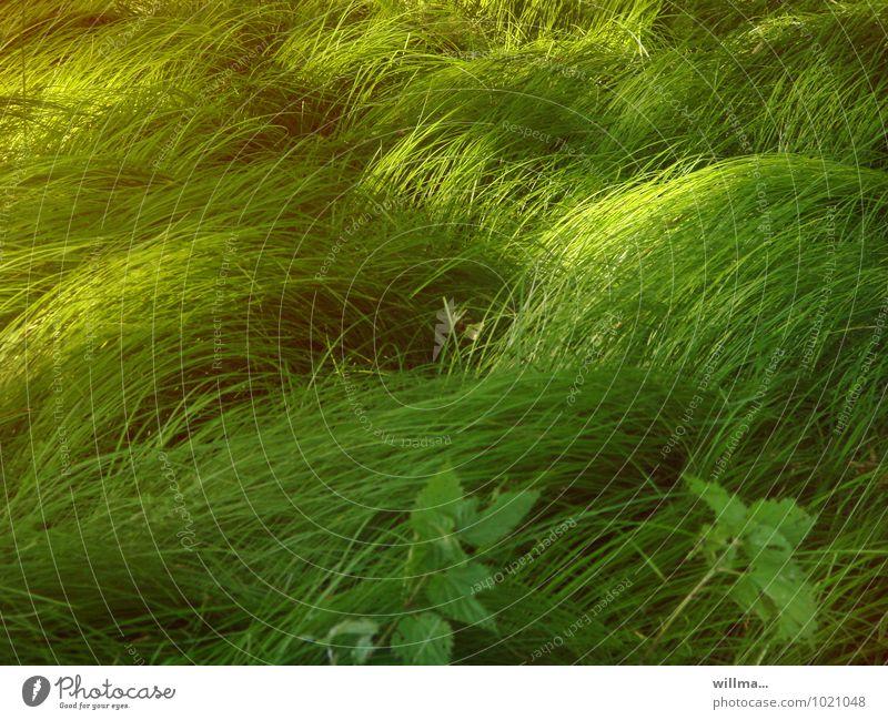 in unserer Erinnerung ist das Gras immer grüner Natur Pflanze grün Umwelt Wiese Gras Grasland grasgrün
