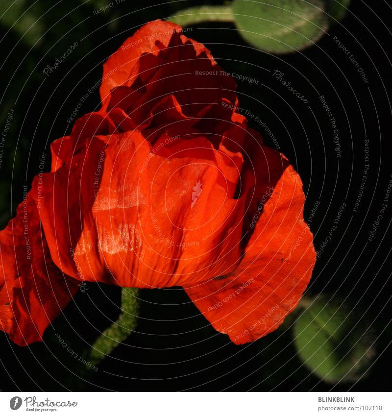 bloody blume rot Mohn Blume Pflanze grün schwarz schön Brand Natur Lampe Blütenknospen Falte Reflexion & Spiegelung red light shining shine flower sun black