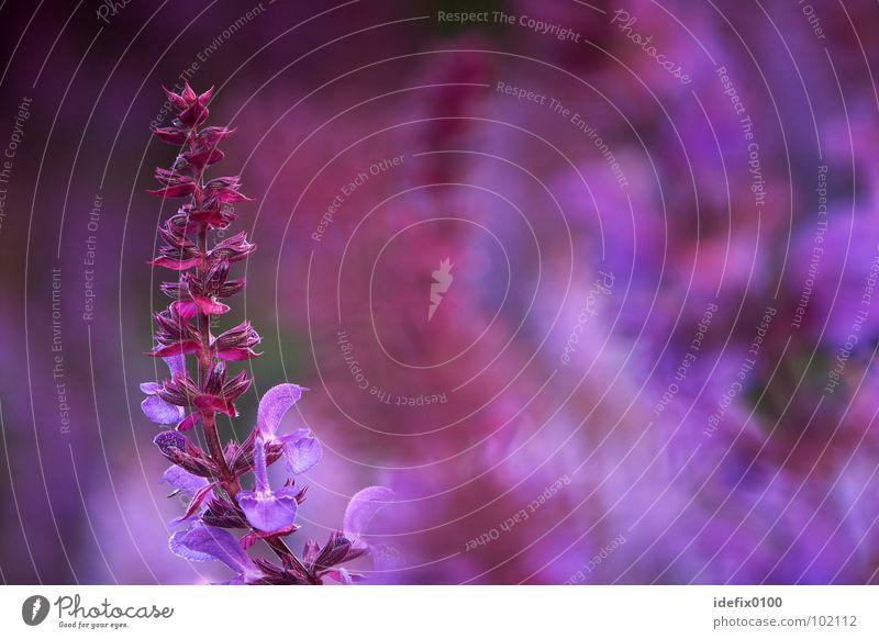 Salbei Blume Pflanze Farbe Gesundheit Hintergrundbild violett Kultur gekrümmt Heilpflanzen