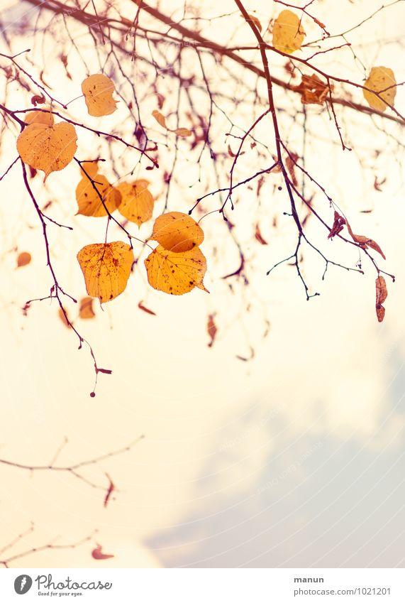 Laubfall Natur Herbst Baum Blatt Zweige u. Äste herbstlich Herbstfärbung Herbstbeginn Herbstlaub hell natürlich braun gelb gold Farbfoto Außenaufnahme