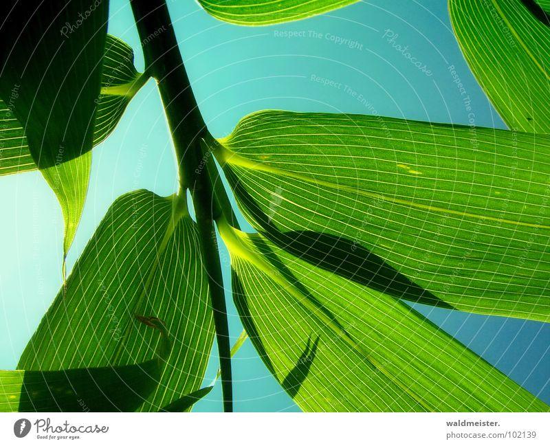 Bambus grün Gegenlicht Schatten Himmel Asien China Japan Blattadern Strukturen & Formen filigran Garten