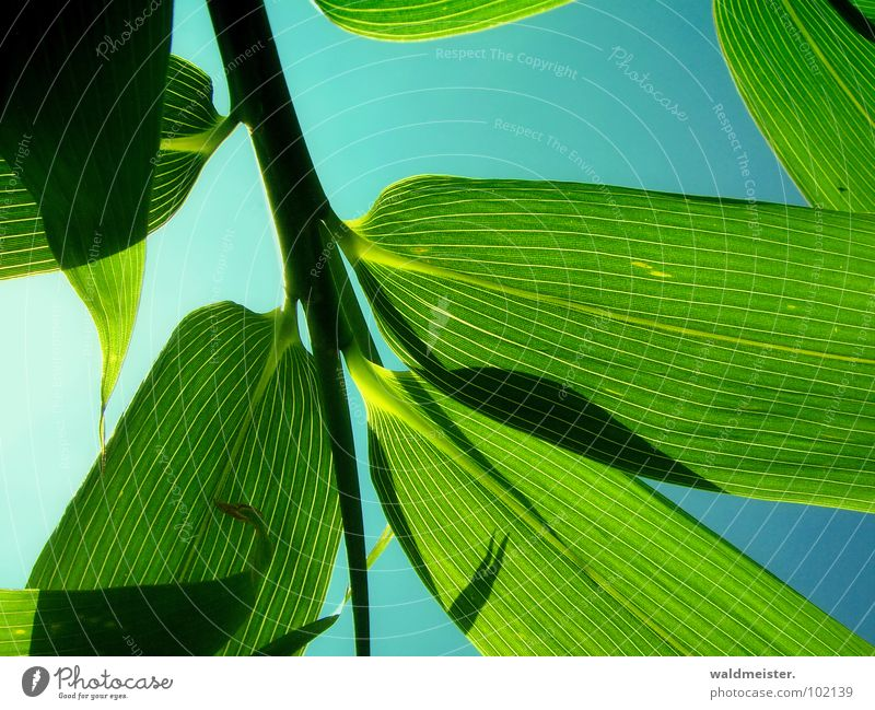 Bambus Himmel grün Garten Asien China Japan Bambus Blattadern filigran