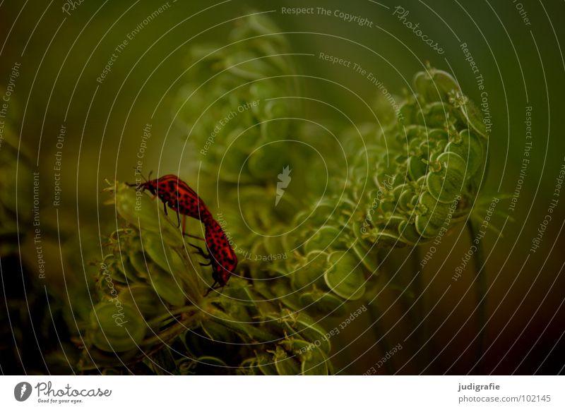 Gestreift Natur grün rot Pflanze schwarz Tier Farbe Wiese Leben Umwelt Tierpaar paarweise Wachstum Insekt Käfer gestreift
