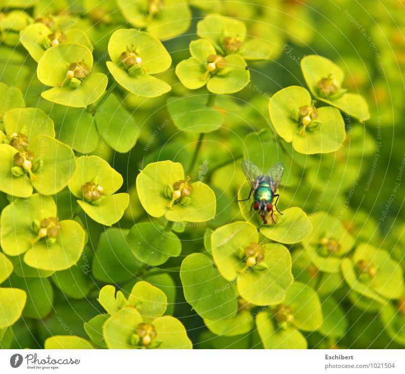 Gaukelei oder auch Pflanzliche Überlegenheit! Natur Pflanze Blume Tier gelb Blüte Garten fliegen wild leuchten Wildtier Fliege verrückt Ausflug Sex Flügel