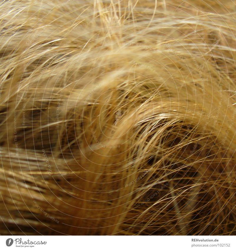 Löwenmähne Mensch schön Wärme Haare & Frisuren Wellen blond Kraft gold Wildtier Spitze Schwimmbad Bad Physik trocken Locken
