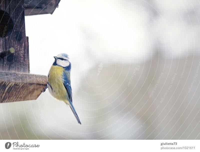 Blaumeise blau schön weiß Tier kalt gelb natürlich Holz klein braun Vogel Wildtier sitzen ästhetisch beobachten niedlich