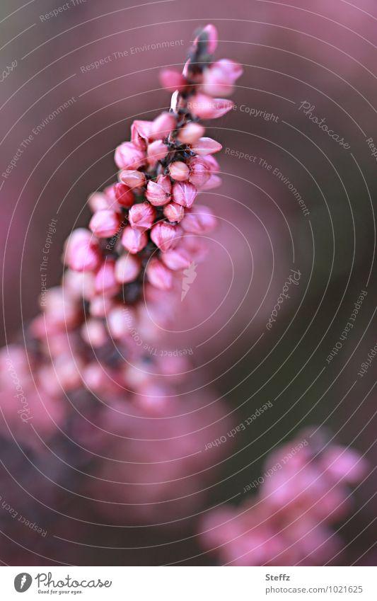 in voller Pracht Natur Pflanze schön Sommer Stimmung rosa Sträucher Blühend Romantik violett Wildpflanze Heide September Bergheide Heidekrautgewächse
