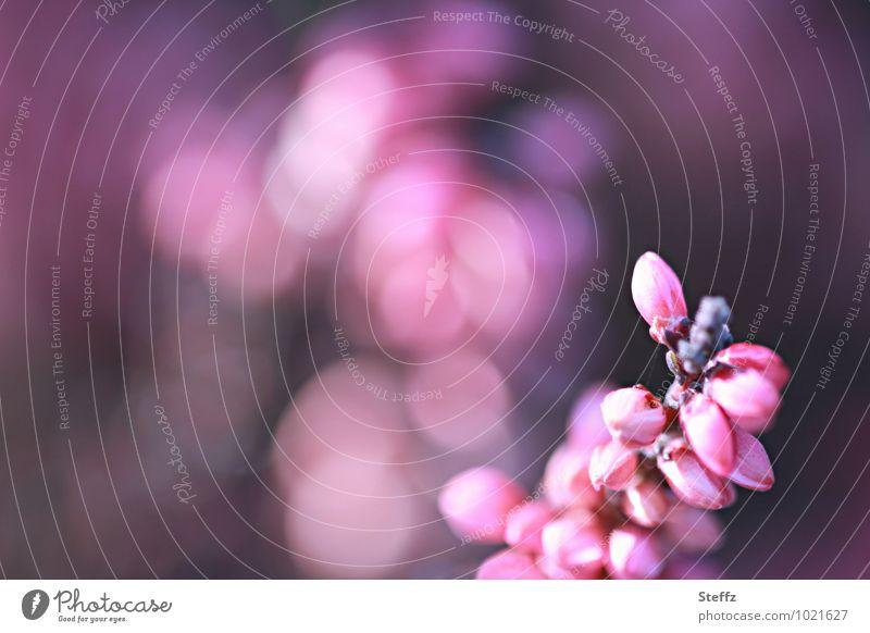 Zierheide mit Lichtreflexen Zierstrauch Heide Heideblüte heimisch zarte Blüten heimische Pflanzen Heidekraut violette Blumen September Lichtstimmung Farbenspiel