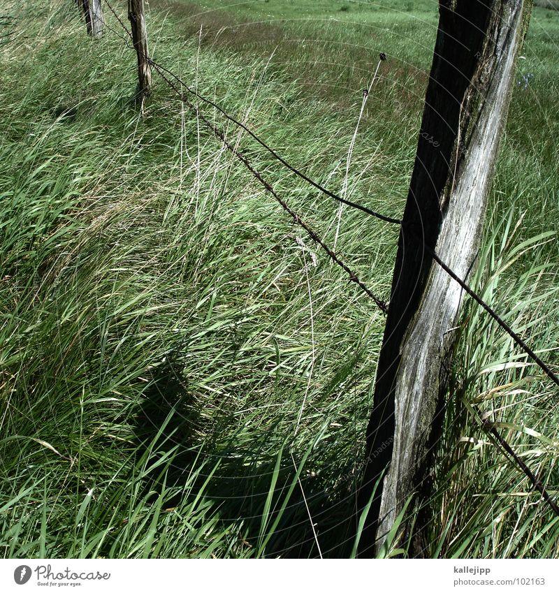 zaungast Gras Landwirtschaft Zaun Stacheldraht grün saftig Holz Grünfläche Schaf Pferd Weide Pfosten verfallen kallejipp