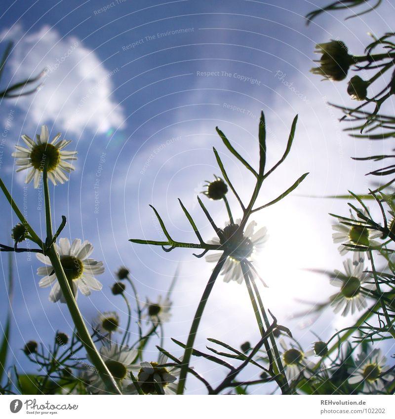 Kamilla-Kamille mit Geweih Heilpflanzen Kräutertee Gesundheit Pflanze Wachstum Feld grün Blüte Reaktionen u. Effekte Gegenlicht blenden Sommer Sommertag Wolken