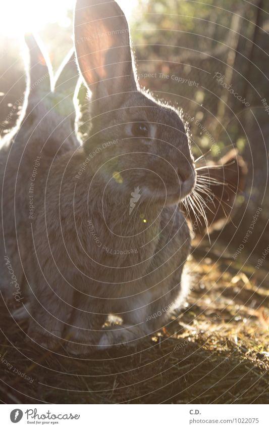 Langohr Haustier Fell Hase & Kaninchen 1 Tier natürlich Neugier niedlich weich Hasenohren Freilandhaltung Osterhase Farbfoto Außenaufnahme Textfreiraum unten