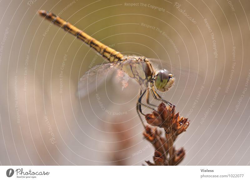 Akrobat... Tier Natur natürlich braun Libelle Farbfoto Außenaufnahme Makroaufnahme Menschenleer Tag Sonnenlicht Unschärfe Insekt Heidelibelle