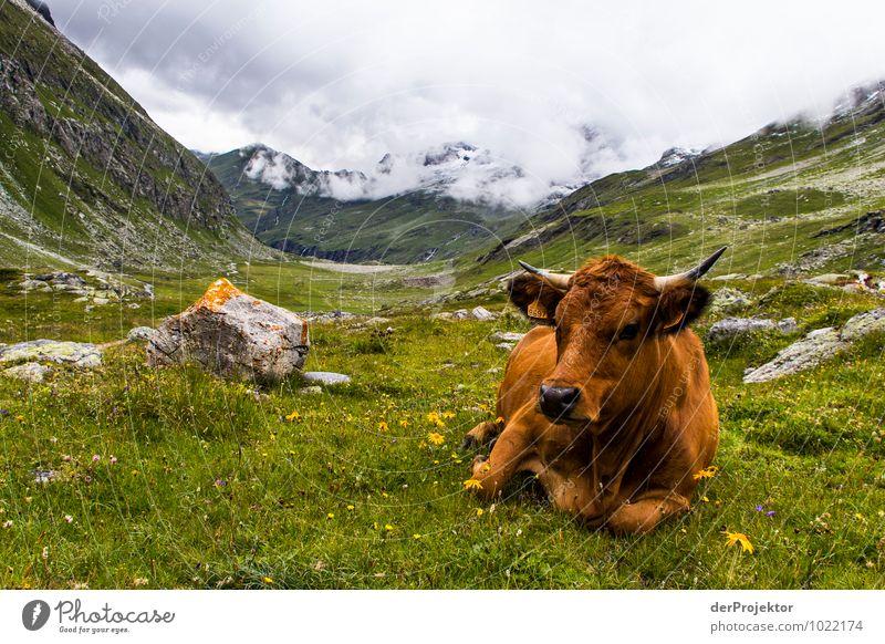 Portrait: Alpenkuh liegend Natur Ferien & Urlaub & Reisen Pflanze Sommer Landschaft Tier Umwelt Berge u. Gebirge Gefühle Wiese Felsen Feld Tourismus wandern Urelemente Gipfel