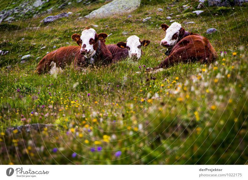 Kuh-Kindergarten Natur Ferien & Urlaub & Reisen Pflanze Sommer Landschaft Tier Berge u. Gebirge Tierjunges Umwelt Wiese Zufriedenheit Tourismus Feld Ausflug