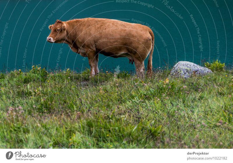 Portrait: Alpenkuh Natur Ferien & Urlaub & Reisen Pflanze Landschaft Freude Tier Berge u. Gebirge Umwelt Gefühle Wiese See braun Zufriedenheit Tourismus Feld