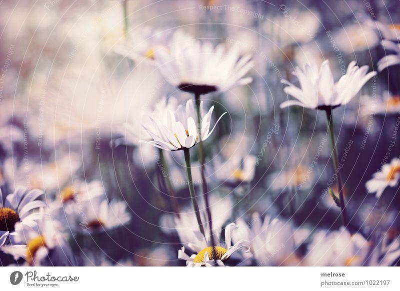 sommerlich Natur Pflanze schön grün weiß Sommer Erholung Blume Umwelt gelb Wiese träumen Wachstum leuchten Klima Lächeln