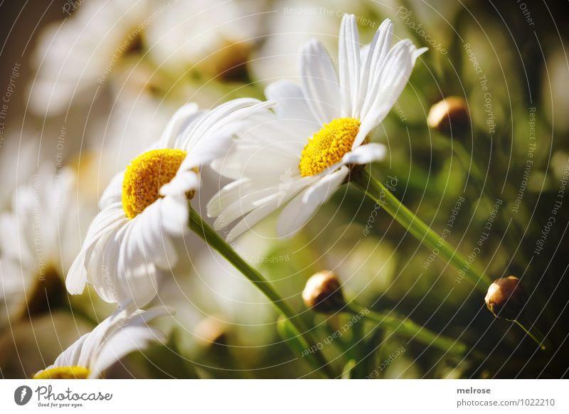 Richtung Sonne Umwelt Pflanze Sommer Schönes Wetter Blume Blüte Wildpflanze Blütenknospen Margerite Blütenstiel Blütenblätter Korbblütengewächs Garten Wiese