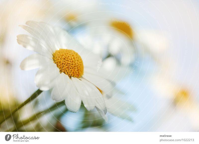 luftig leicht Umwelt Natur Pflanze Sommer Schönes Wetter Blume Blatt Blüte Wildpflanze Margerite Korbblütengewächs Blütenstempel Blütenstiel Garten Wiese