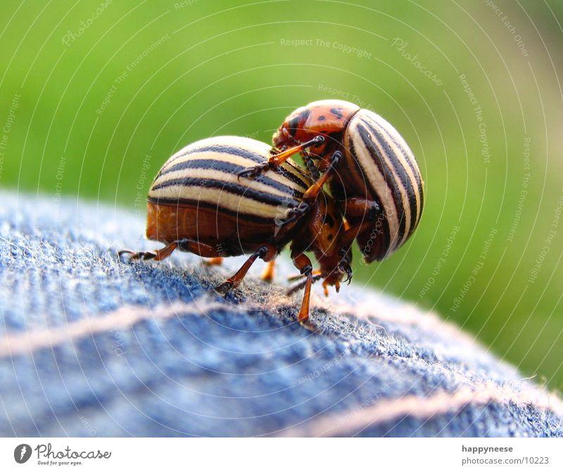 im doppel Sommer 2 braun Tanzen Tierpaar paarweise Käfer gestreift Gemüse Kartoffeln Makroaufnahme