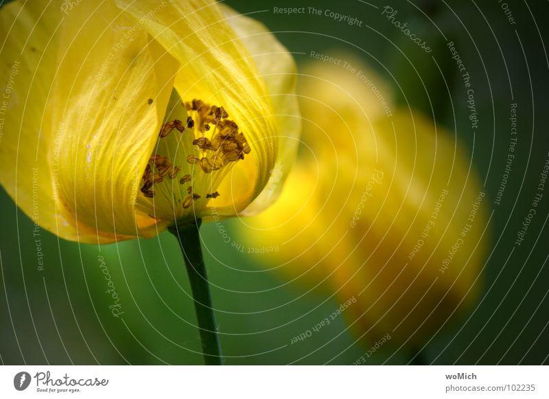 Abklatsch Mohn Waldscheinmohn gelb Blüte Blume Blütenblatt Pollen Frühling Park Pflanze zart abstrakt Tiefenschärfe Lichtspiel Garten Stempel Schatten Natur