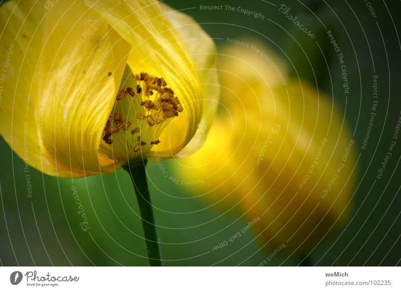 Abklatsch Natur Pflanze Blume gelb Garten Blüte Frühling Park zart Mohn Tiefenschärfe Lichtspiel Pollen Stempel Blütenblatt Waldscheinmohn