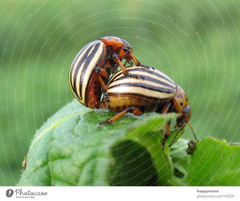 käferstündchen Natur grün Leben braun Feld Gemüse Käfer Kartoffeln