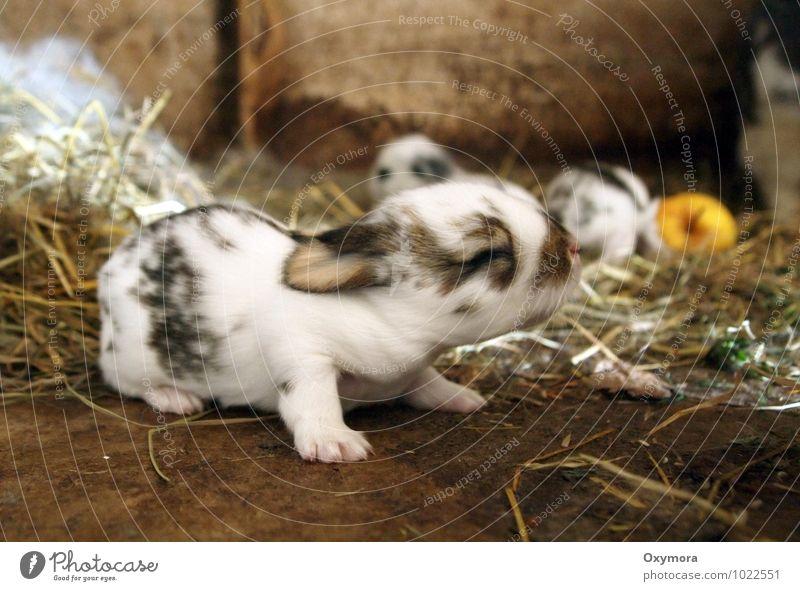 Häschen 2 Tier Haustier Hase & Kaninchen 1 Tiergruppe Tierjunges Tierfamilie krabbeln kuschlig neu weich braun schwarz weiß Frühlingsgefühle Farbfoto