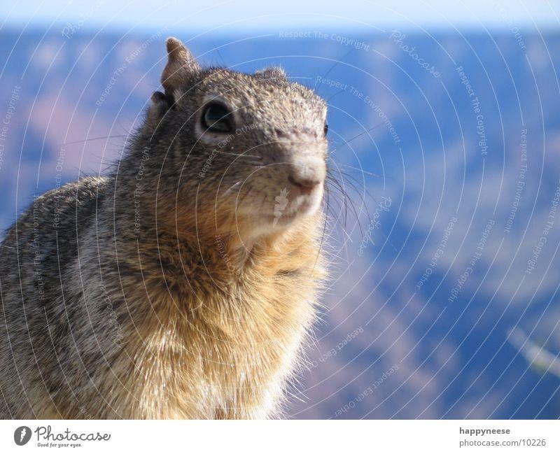 squirrel im canyon Auge Verkehr USA Fell Geruch Eichhörnchen Grand Canyon