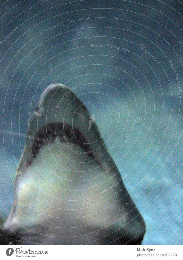 Hai Haifisch gefährlich Meer Unterwasseraufnahme Raubfisch Fisch Wasser bedrohlich der große Zähner Respekt