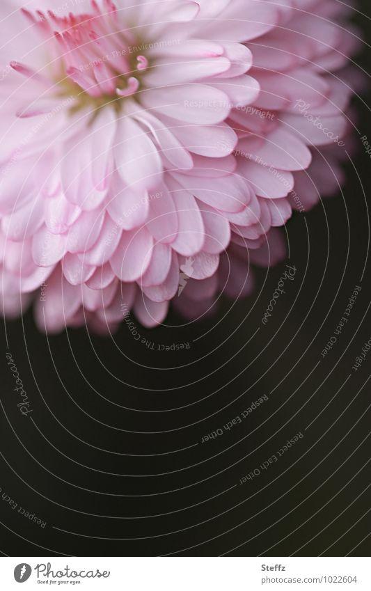 Miss Gänseblümchen Natur Pflanze Blume Frühling rosa Geburtstag Textfreiraum Blühend Postkarte Blütenblatt Frühlingsgefühle Valentinstag unberührt Wildpflanze