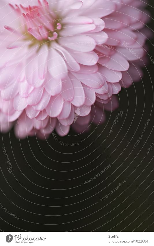 Miss Gänseblümchen Valentinstag Geburtstag Natur Pflanze Frühling Blume Wildpflanze Frühlingsblume Jungpflanze Blütenblatt Blühend rosa Frühlingsgefühle