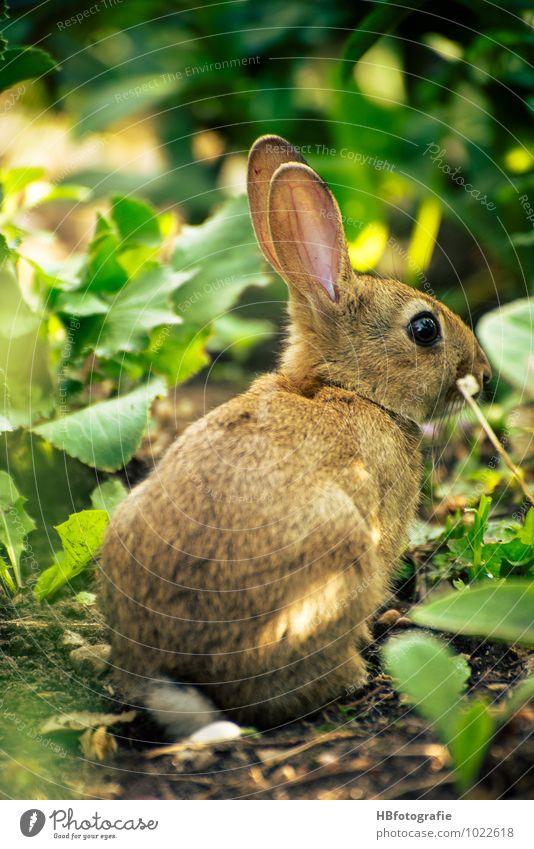 Such mich... Ausflug Natur Tier Wildtier Fell 1 hocken Hase & Kaninchen verstecken Osterhase ducken Hasenohren Farbfoto Außenaufnahme Nahaufnahme Tag