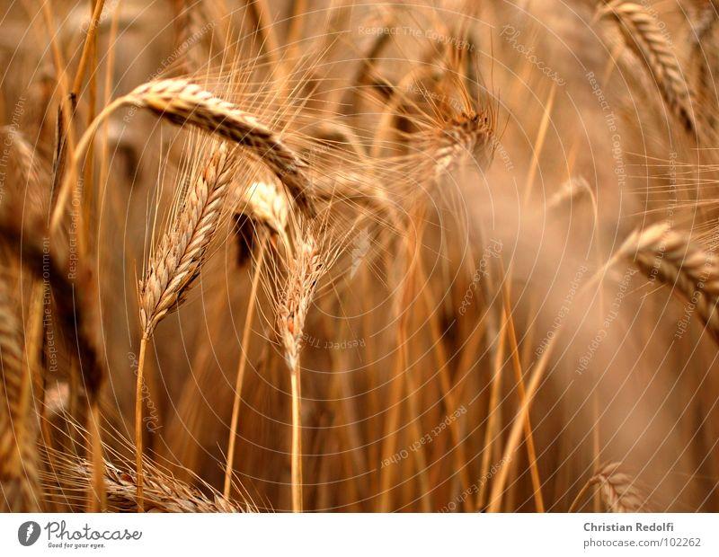 Getreide Gerstenähre reif Gerstenfeld