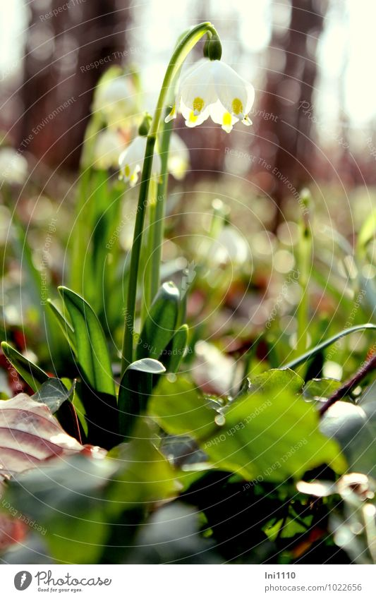 Märzenbecher Umwelt Natur Pflanze Erde Sonne Sonnenlicht Frühling Schönes Wetter Blume Blatt Blüte Wildpflanze Wald außergewöhnlich glänzend natürlich schön
