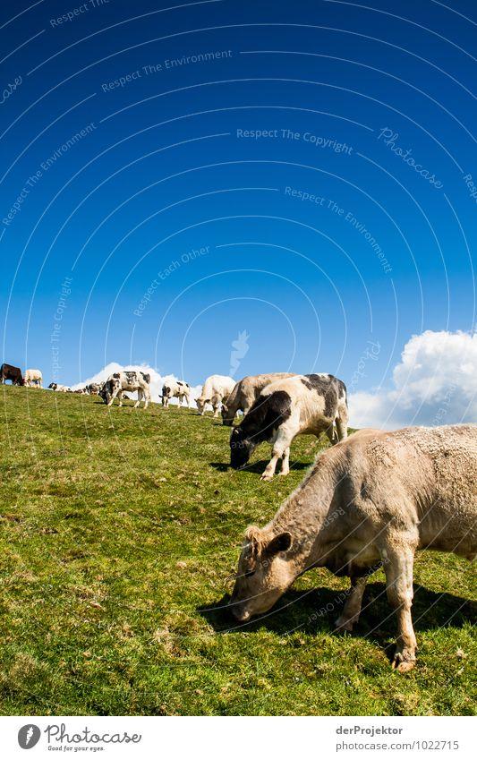 Entspannende Kühe beim Grasen Umwelt Natur Landschaft Pflanze Tier Urelemente Frühling Schönes Wetter Wiese Feld Hügel Insel Nutztier Kuh Herde Gefühle