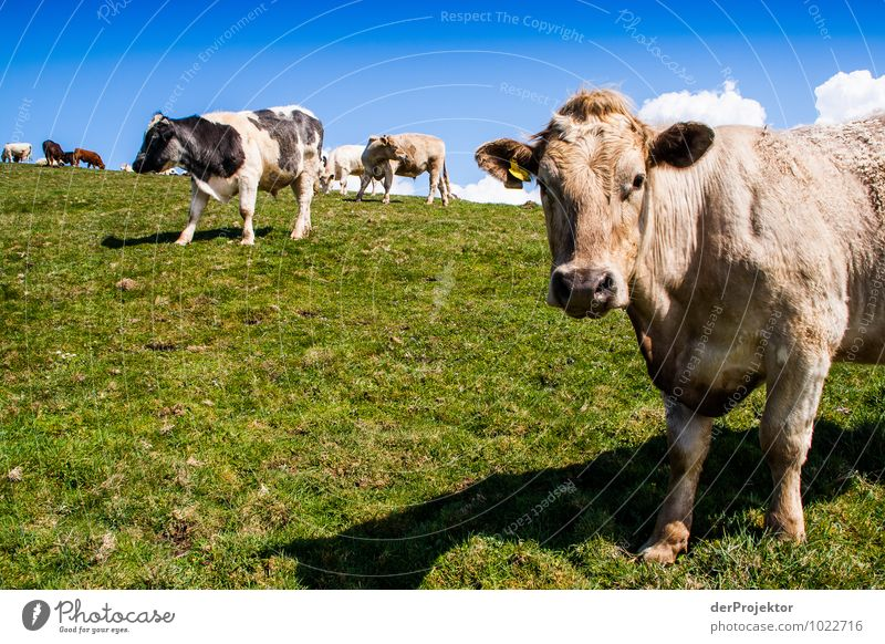 Nicht in die Kamera schauen! Natur Landschaft Tier Berge u. Gebirge Umwelt Frühling Gefühle Wiese Gras Tourismus Feld Ernährung Ausflug Hügel Landwirtschaft Kuh