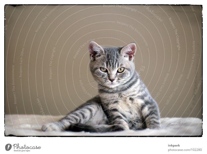die kleine Diva Katze Erholung aufwachen Blick Säugetier getiegert Rahmen Neigung