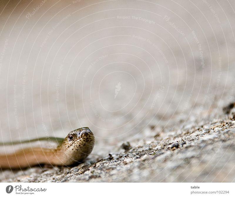 bitte helfen sie mir über die straße . . . Blindschleiche Echsen Reptil Tier Biotop Umweltschutz Lebewesen Asphalt Froschperspektive Sommer Blick Natur gefärdet