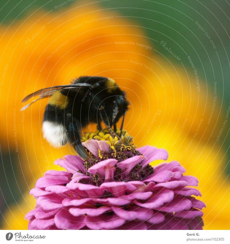bumblebee Hummel Biene Imker gelb rosa weiß schwarz gestreift Tagetes Schneckenabwehr Nektarpflanze Staubfäden groß Kraft Tier Insekt Schiffsbug Blütenblatt