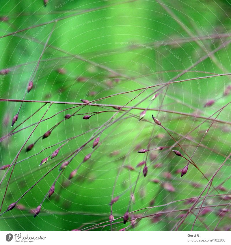 trouble Natur Pflanze grün Gras klein hell Hoffnung zart Blütenknospen Halm Irritation Quadrat sanft durcheinander filigran fein