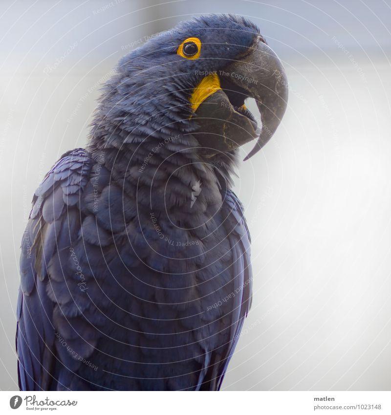 lucky blue Tier Vogel Tiergesicht Flügel 1 Freundlichkeit Fröhlichkeit groß blau gelb schwarz weiß Zufriedenheit Frühlingsgefühle Ara Hyazinthara Schnabel Feder
