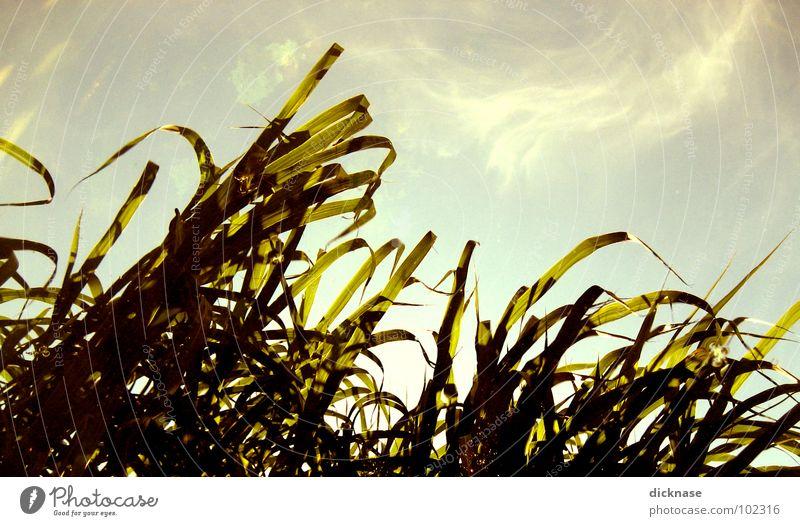 51 mal schilf Schilfrohr Sommer Gras Reflexion & Spiegelung Feld Licht Reaktionen u. Effekte unten Australien Natur Himmel Gegenlicht Bandsalat Sonne am wasser