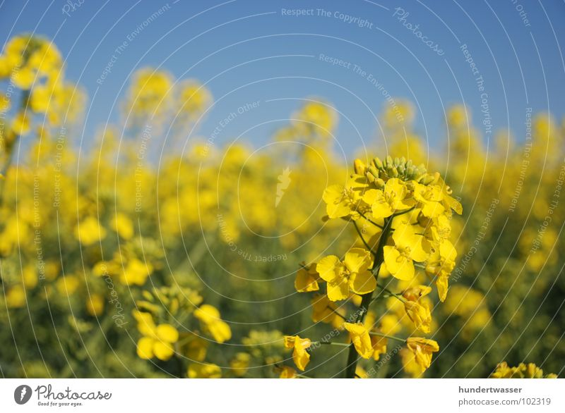 raps Raps Blume Pflanze Blüte Natur Landschaft blau Blühend