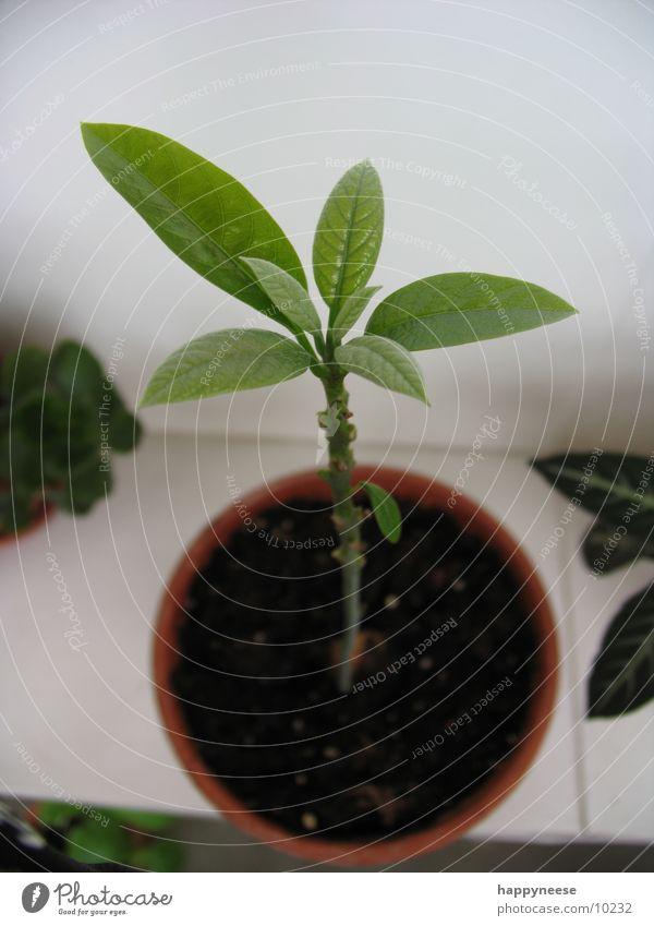 WGpflanze grün Pflanze Blatt Erde frisch Wachstum Topf Avocado