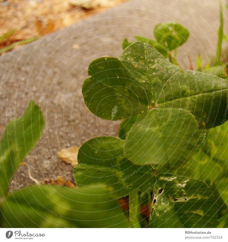 verstecktes glück? Klee Kleeblatt grün Glücksbringer Zufall finden Suche Wiese Wegrand sichtbar außergewöhnlich Stengel typisch Freude 4blättrig Wege & Pfade