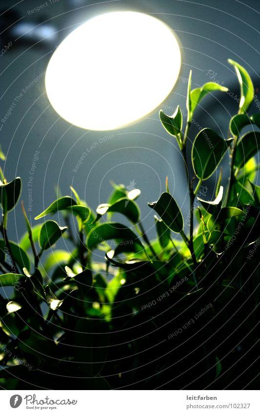 photosynthese 03 Baum Pflanze Zimmerpflanze Topfpflanze Sträucher grün Feige Birkenfeige Lampe Schreibtischlampe Werkstatt Photosynthese hart Beleuchtung