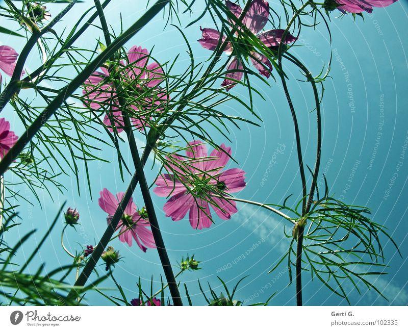 schmuck Stimmung mehrere sommerlich Sommer Schmuckkörbchen Blüte rosa grün himmelblau durcheinander frisch Frühling Blume Zierpflanze mehrfarbig Kondensstreifen