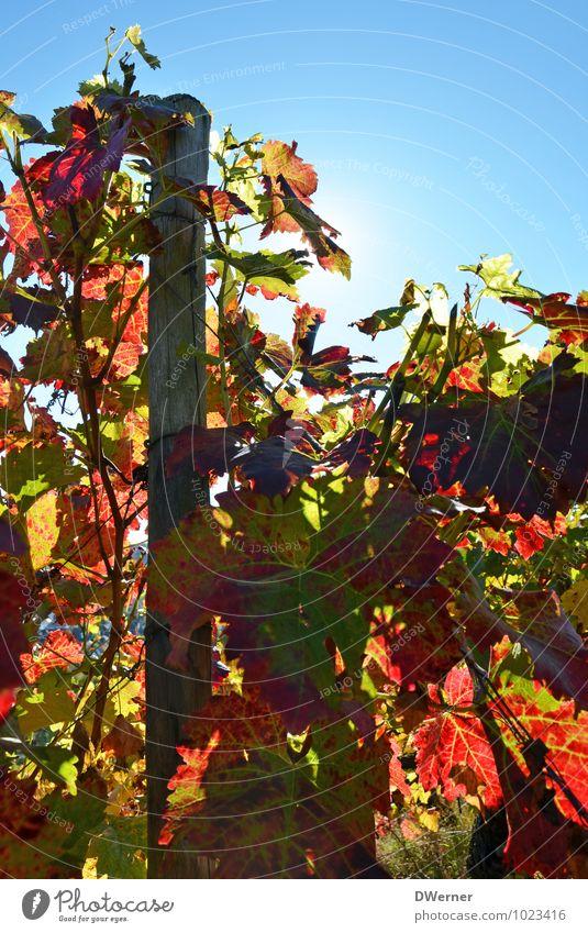 Wein Himmel Pflanze blau Sommer Sonne rot Umwelt Leben Garten Freiheit hell Feld Wachstum Sträucher Blühend Schönes Wetter