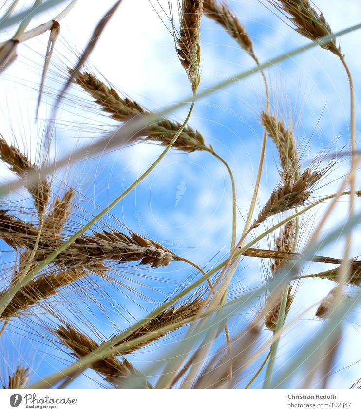 Getreide 1 Gerste Süßgras Gras Lebensmittel Froschperspektive Stengel Halm Sommer Himmel Gerstenähre reif