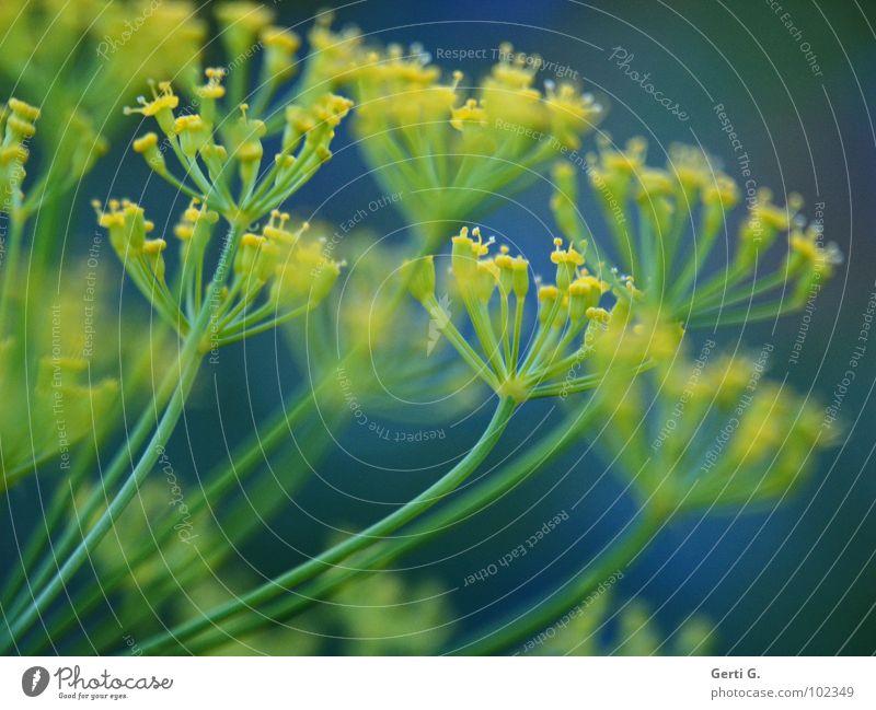 Dillda gelb grün Blüte Gartenpflanzen gepunktet durcheinander Doldenblütler Heilpflanzen Fischgewürz Profil mehrfarbig grün-gelb blau-gelb blau-grün